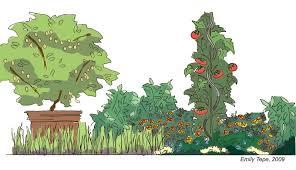 the edible artichokes and zinnias june 2009
