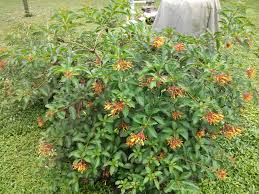 oz native plants native plants the shrub queen