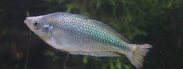 file murray river rainbow fish jpg wikimedia commons