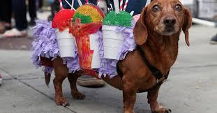 mardi gras dog 11 dogs struttin their stuff at the mardi gras dog parade