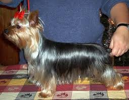 teacup yorkie haircuts pictures 26 brilliant teacup yorkie haircuts dohoaso com