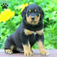 belgian shepherd x rottweiler rottweiler mix puppies for sale in de md ny nj philly dc and baltimore