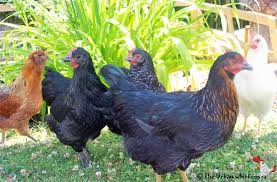 Chickens For Backyard by Chicken Breeds For Backyard Chickens The Urban Chickens