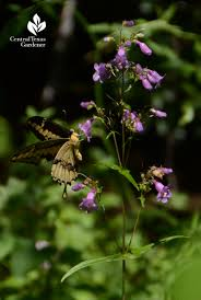 austin native plants backyard native plant pocket prairie hummingbird love central