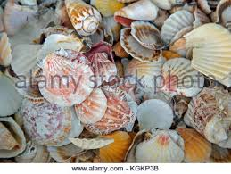 assorted seashells assorted seashells stock photo royalty free image 104901937 alamy