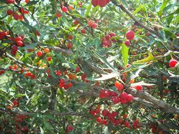 berri native plants the sifford sojournal providence u0027s perennial provisions agarita