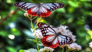 desktop wallpaper two colorful butterflies on flowers