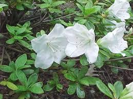 Shrub Small White Flowers - best shrubs