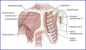 Innervation Of Infraspinatus Duke Anatomy Lab 10 Shoulder Axilla U0026 Arm