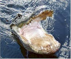 fan boat tours florida everglades airboat tours see florida alligators up close from