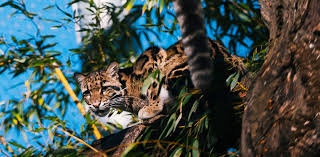 Pdza Zoo Lights by Clouded Leopard Sang Dao Is Expecting South Sound Magazine