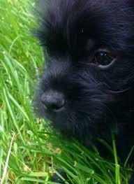 affenpinscher puppies florida affenpinscher u003c3 ozzie 9 months rescued from last chance ranch