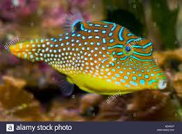 ostraciidae boxfish fiji islands south southsea sea pacific ocean