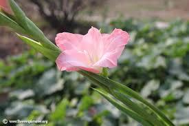 gladiolus flowers gladiolus flower picture 19