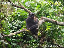 siege social bonobo bonobo photo pan paniscus g114723 arkive