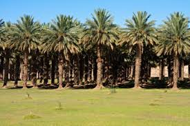 commercial palm trees