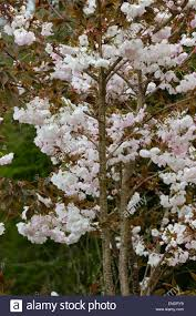flowers of the ornamental japanese cherry prunus stock