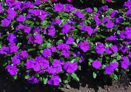 Vinca Flowers Flowering Vinca Purple