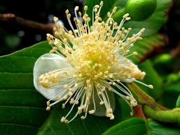native plants of brazil guava psidium guajava feedipedia