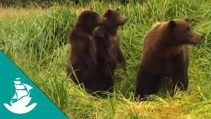 Animal Planet Documentary Grizzly Bears Full Documentaries - documentary relationship animal mating thedocus