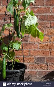 Trellis For Cucumbers In Pots Cucumber Plant Growing In A Pot With A Metal Support Against A