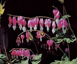 Bleeding Hearts Flowers Asian Bleeding Heart Plant Britannica Com