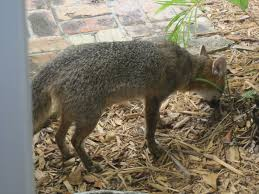 the kauffman chronicles red fox is alive and well in coral gables