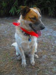 australian shepherd sheltie mix spanky the australian cattle dog adopted the dog liberator