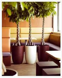 indoor tree the easiest pachira aquatica apartment therapy