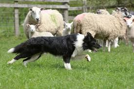 australian shepherd herding sheep herding animal stock photos kimballstock