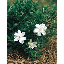 shop 2 5 quart white radicans dwarf gardenia flowering shrub