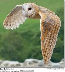 Barn Owls Tytonidae Beauty Of Birds