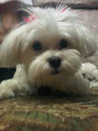 lost my dog last month to aiha long post maltese dogs forum