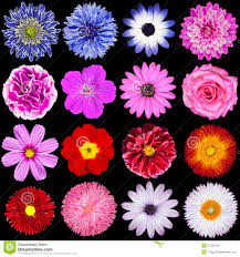 purple and blue flowers pink purple blue and white flowers isolated stock photo