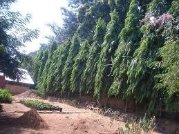 plantfiles pictures mast tree false ashoka tree sorrowless tree