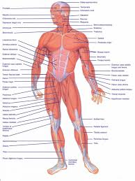 Nerve Map Human Anatomy Diagram Human Anatomy Map Of Body Organs Best