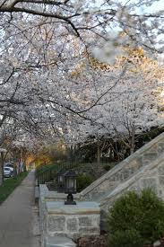 nashville s prettiest streets to see cherry blossoms
