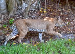 Sanibel Island Florida Map by File Bobcat Lynx Rufus Sanibel Island Florida 01 Jpg