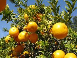 orange tree origin history cultivation health benefits facts etc