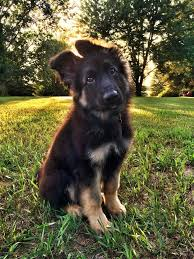 australian shepherd with german shepherd 48 best german shepherd puppies with ridiculous ears images on