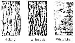 White Oak Tree Bark File Tree Bark Psf Png Wikimedia Commons