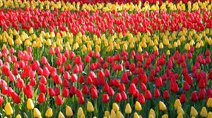 2018 visit keukenhof tulip and flower gardens south holland