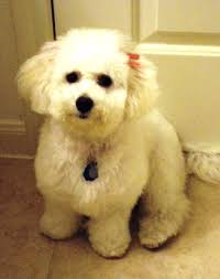 bichon frise breed standard bichon frise breed information history health pictures and more