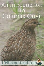 an introduction to coturnix quail