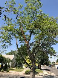 sparse leaf growth on maple tree