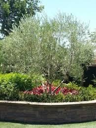 Front Yard Desert Landscape Mediterranean Exterior Fruitless Olive Trees Front Yards Yards Landscapes Swan Hills