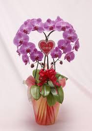 kochoran senmon rakuten global market heart moth orchid