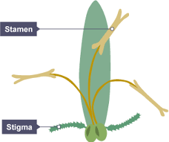 Where Is The Pollen Produced In A Flower - bbc bitesize gcse biology reproduction in plants revision 2