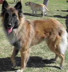 belgian shepherd ears belgian shepherd dogs tervuren in south africa