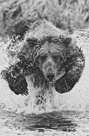 Bears Montana Hunting And Fishing - whether you are fly fishing in alaskan backcountry or in montana